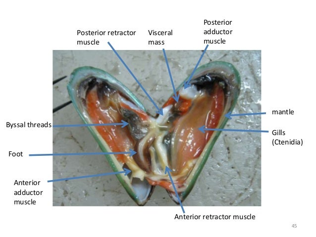 mantle Gills (Ctenidia) Byssal threads Foot Anterior adductor muscle Posterior adductor muscle Anterior retractor muscle P...