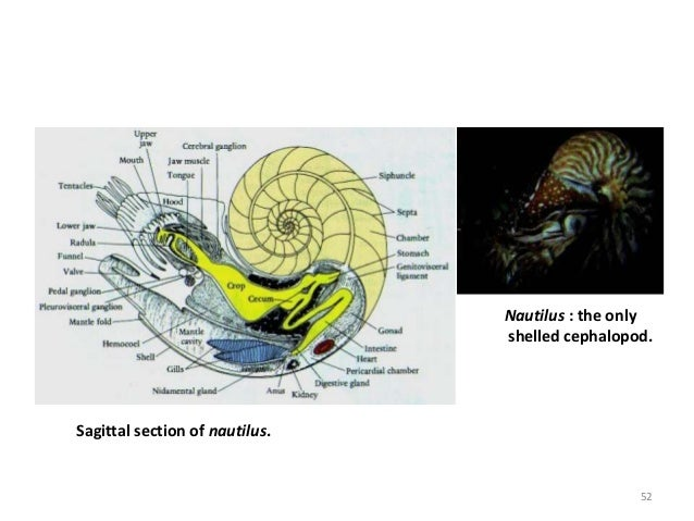 Sagittal section of nautilus. Nautilus : the only shelled cephalopod. 52