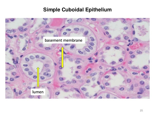 Activity 2 - Histology and Integument