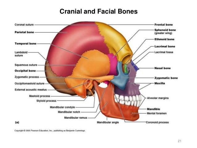 activity 3 - axial skeleton, Human Body
