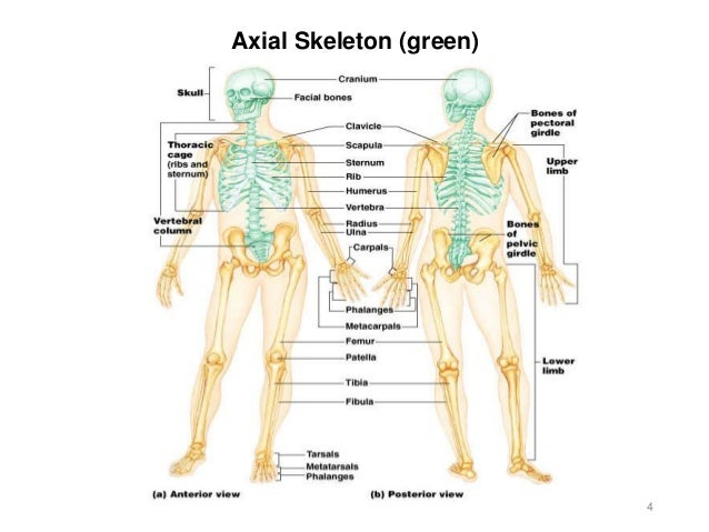 Activity 3 Axial Skeleton