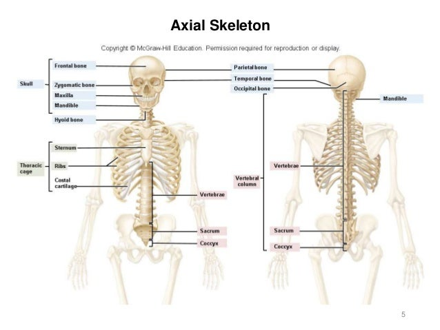 Activity 3 - Axial Skeleton