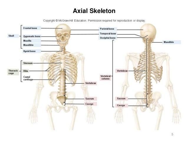 Activity 3 Axial Skeleton 56324446