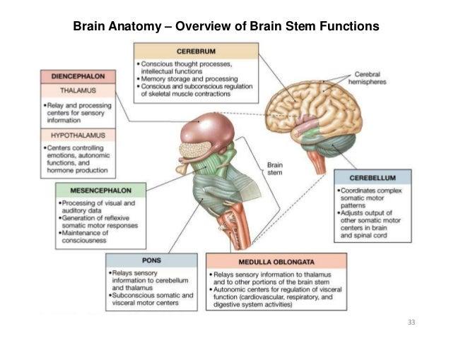 Brain Stem Diagram And Functions Wiring Diagram Database