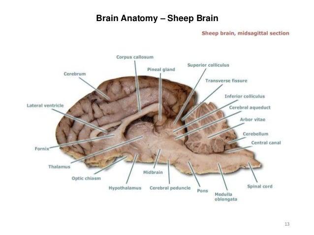 Infundibular Section Of Sheep Brain Diagram House Wiring Diagram