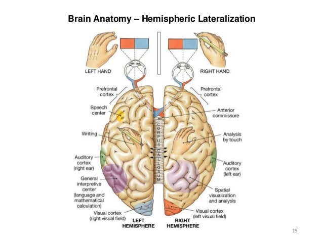 a study of the hemispheres of the brain and their distinct functions