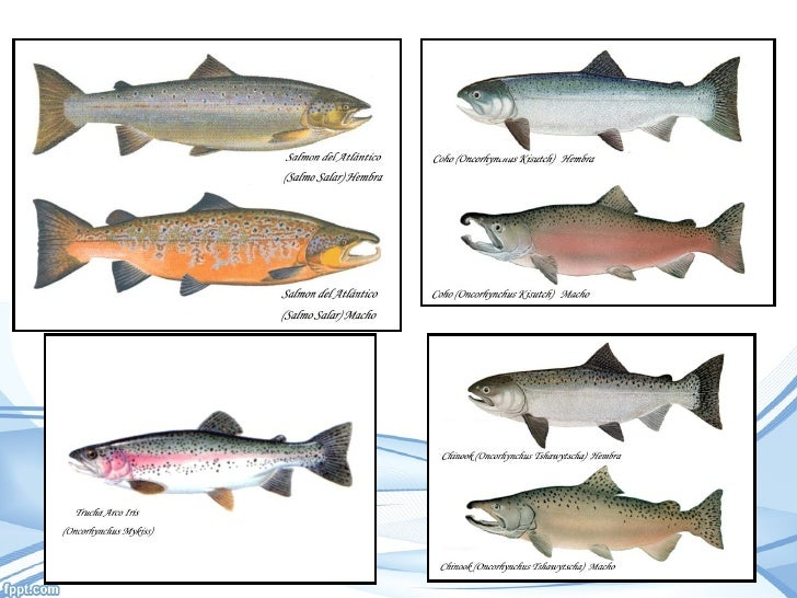 chinook with Acuicultura Del Salmon on Acuicultura Del Salmon in addition King Salmon Fish Mount moreover At 6c Texan Ii as well 56 Mirage Houseboat additionally 314.