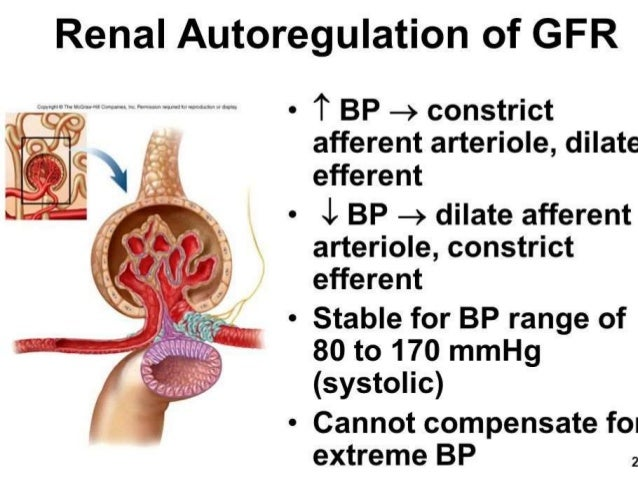 renal autoregulation Autoregulation is a mechanism that ensures constant blood flow to organs, despite changing resistance  returns renal blood flow and gfr back to normal lungs.
