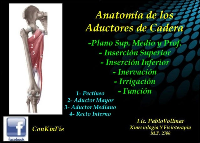 Anatomia musculos Aductores