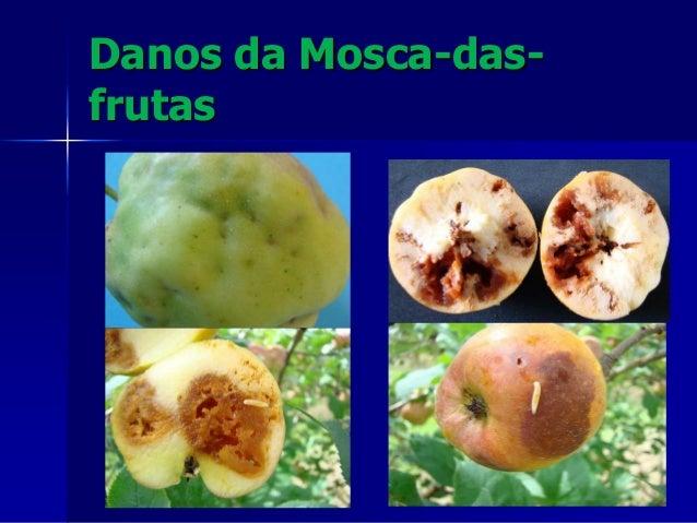 EXPORTAÇÃO DE MAÇÃ Problemas fitossanitários PRAGA/ANO 2011 2012 2013 2014 TOTAL Grafolita 1 16 9 10 36 Mosca 13 8 15 30 6...