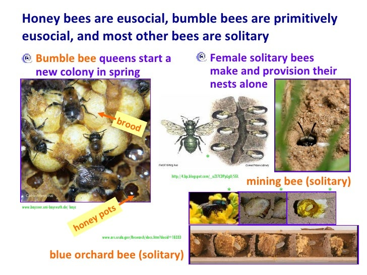 Honey bees are eusocial, bumble bees are primitively eusocial, and most other bees are solitary <ul><li>Bumble bee  queens...