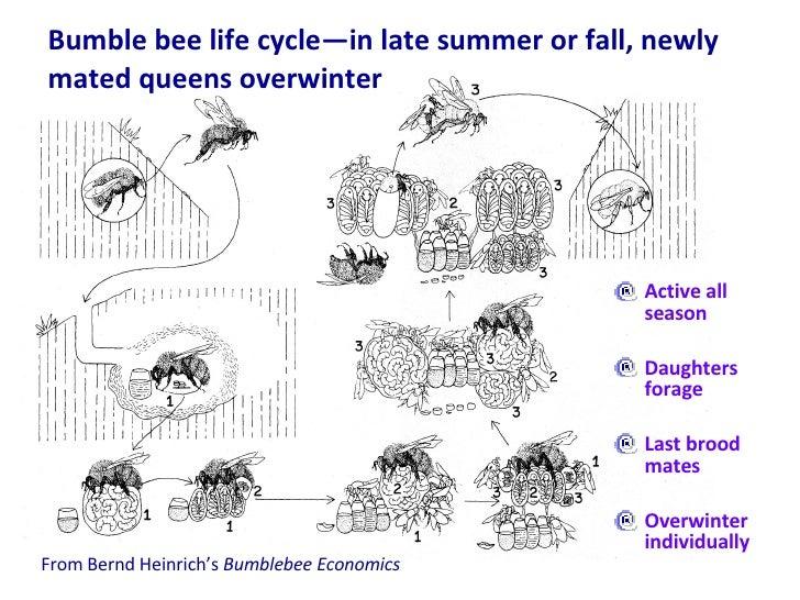 <ul><li>Active all season </li></ul><ul><li>Daughters forage </li></ul><ul><li>Last brood mates </li></ul><ul><li>Overwint...