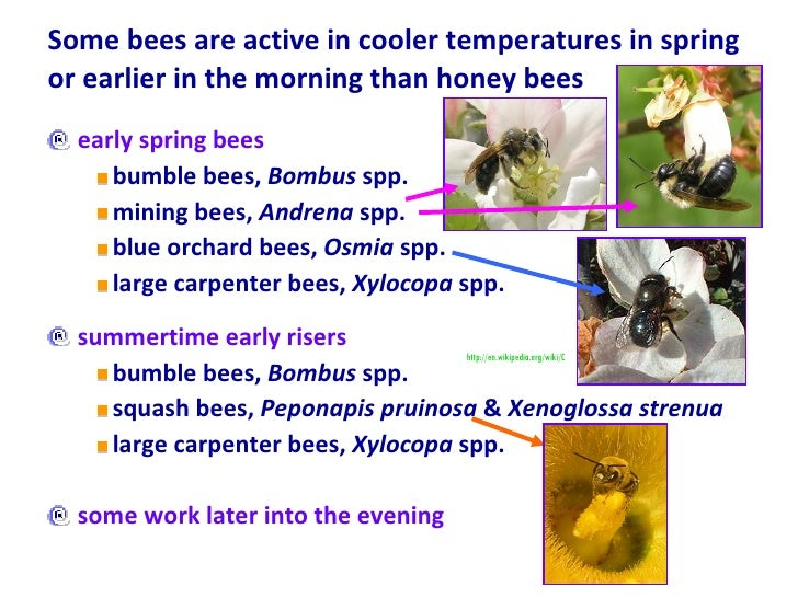 Some bees are active in cooler temperatures in spring or earlier in the morning than honey bees <ul><li>early spring bees ...