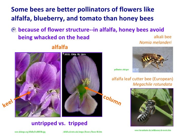 Some bees are better pollinators of flowers like alfalfa, blueberry, and tomato than honey bees <ul><li>because of flower ...