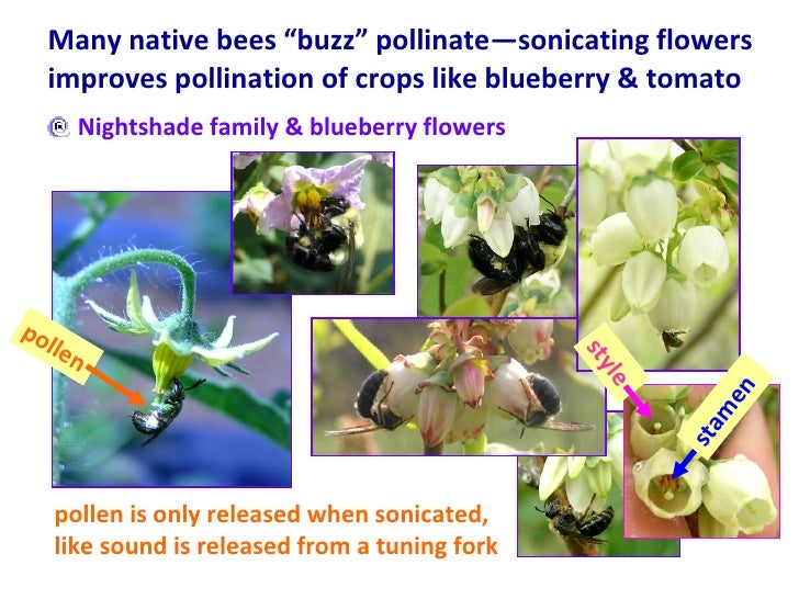 """Many native bees """"buzz"""" pollinate—sonicating flowers improves pollination of crops like blueberry & tomato <ul><li>Nightsh..."""