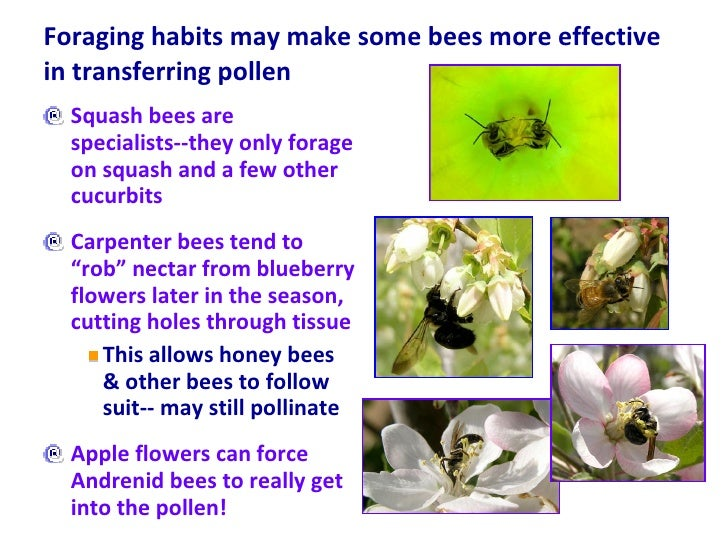 Foraging habits may make some bees more effective in transferring pollen  <ul><li>Squash bees are specialists--they only f...