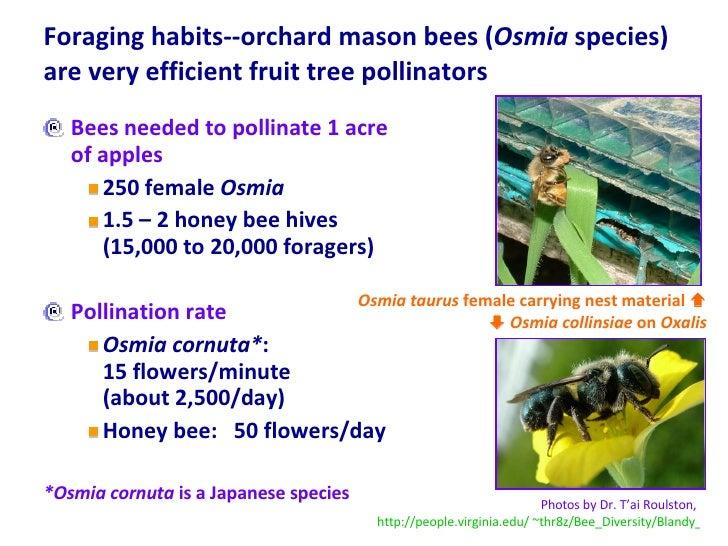 Foraging habits--orchard mason bees ( Osmia  species) are very efficient fruit tree pollinators  <ul><li>Bees needed to po...