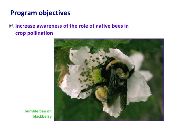 Program objectives <ul><li>Increase awareness of the role of native bees in crop pollination </li></ul>bumble bee on black...