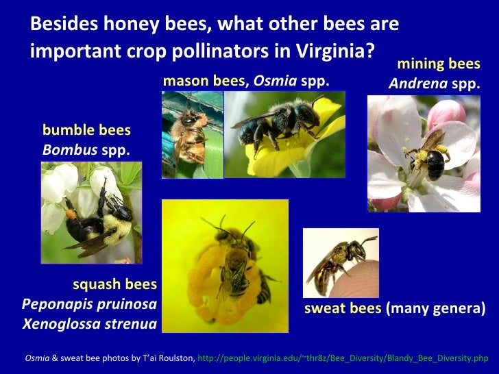 Besides honey bees, what other bees are important crop pollinators in Virginia?  <ul><li>sweat bees  (many genera) </li></...