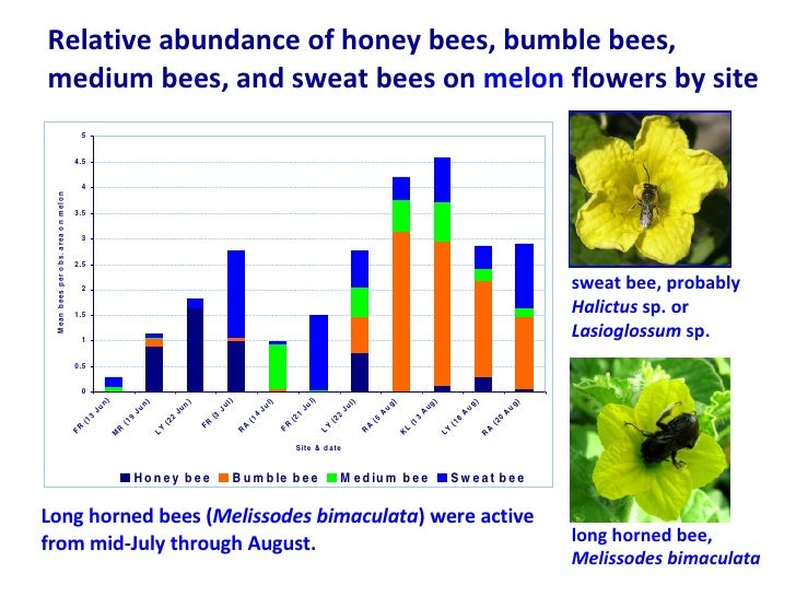 Relative abundance of honey bees, bumble bees, medium bees, and sweat bees on  melon  flowers by site sweat bee, probably ...