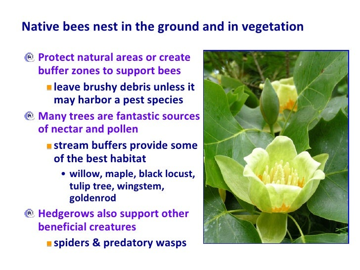 Native bees nest in the ground and in vegetation <ul><li>Protect natural areas or create buffer zones to support bees </li...