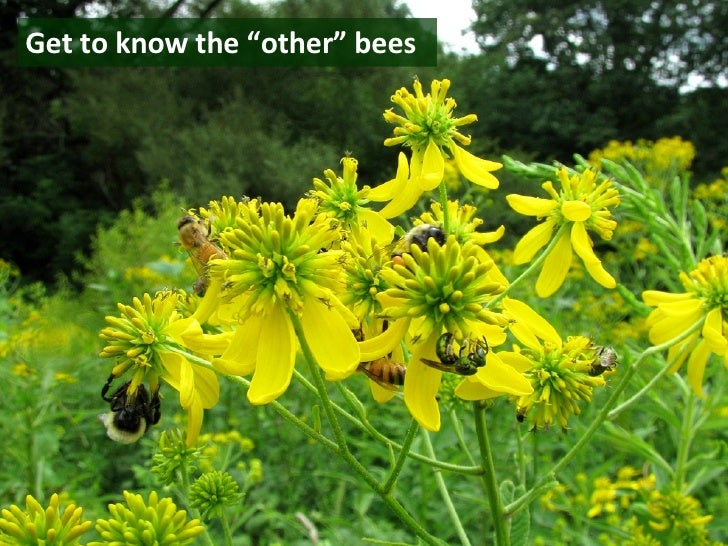 """Get to know the """"other"""" bees"""