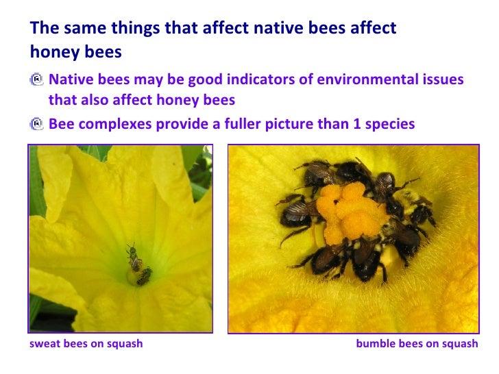 The same things that affect native bees affect honey bees  <ul><li>Native bees may be good indicators of environmental iss...