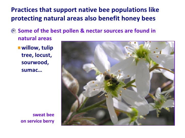 Practices that support native bee populations like protecting natural areas also benefit honey bees <ul><li>Some of the be...