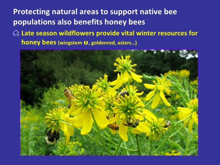 Protecting natural areas to support native bee populations also benefits honey bees <ul><li>Late season wildflowers provid...
