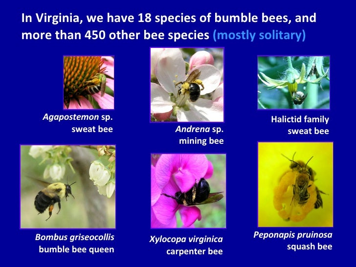 In Virginia, we have 18 species of bumble bees, and more than 450 other bee species   (mostly solitary) Bombus griseocolli...