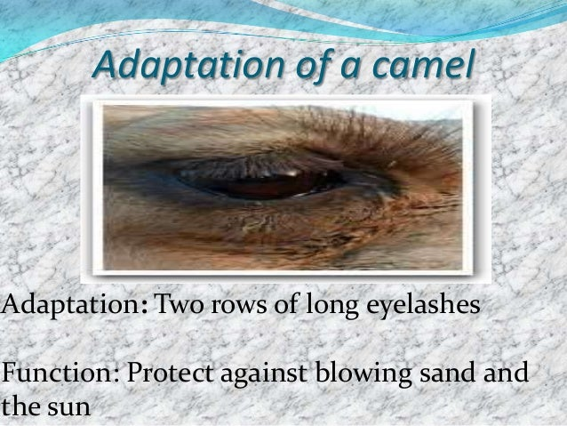 Adaptation of a camel  Adaptation: Nostrils can be closed Function: Keep out blowing sand
