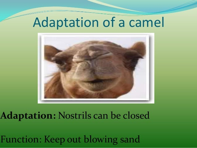 Adaptation of a camel  Adaptation: Fat stored in hump(s) Function: Help it to survive long periods without food and water