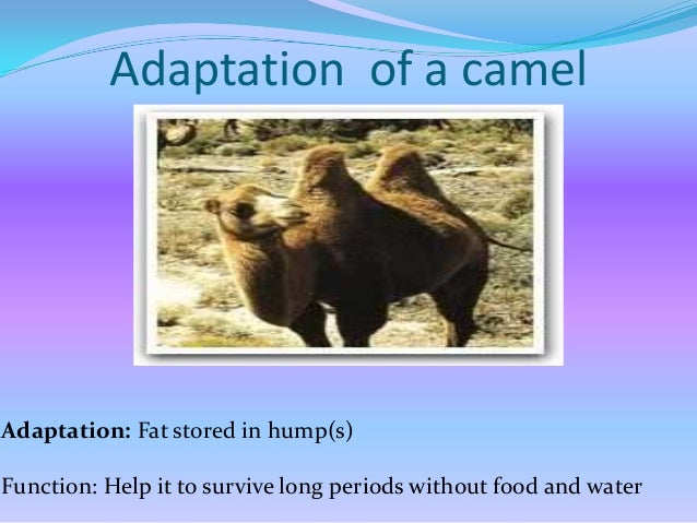 Adaptation of a camel  Adaptation: Thick fur and under wool Function: Provide warmth during cold desert nights and insulat...
