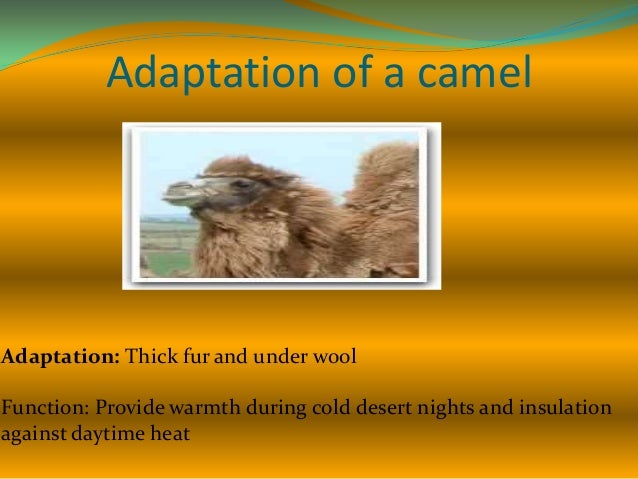 Adaptation of a camel  Adaptation: Thick leathery patches on knees Function: Protect it from getting burn when it kneels o...
