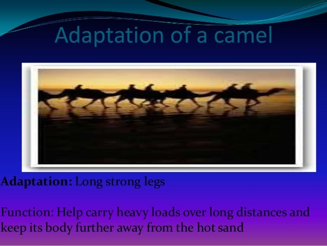 Adaptation of a camel  Adaptation: Broad, flat, leathery pads at the bottom of their hooves  Function: Pads spread out whe...