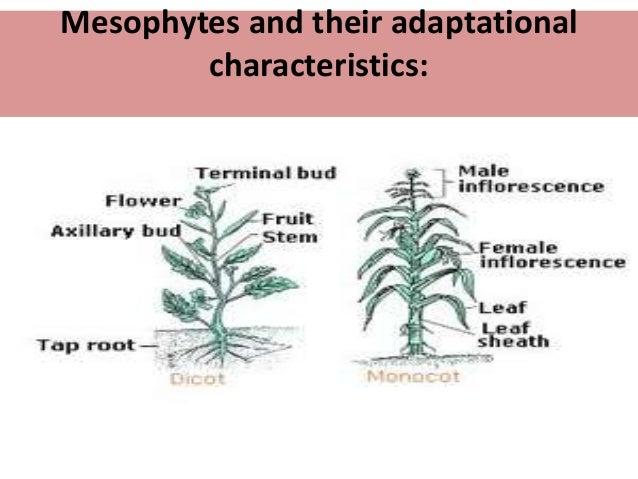 mesophytes adaptations