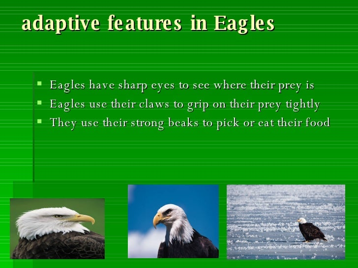 What are some adaptations of eagles?