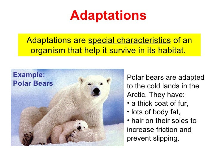 how polar bears are adapted to their environment essay