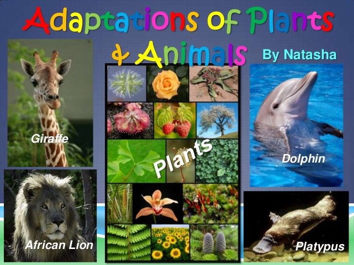 Adaptations of Plants     & Animals By Natasha Giraffe                    DolphinAfrican Lion          Platypus