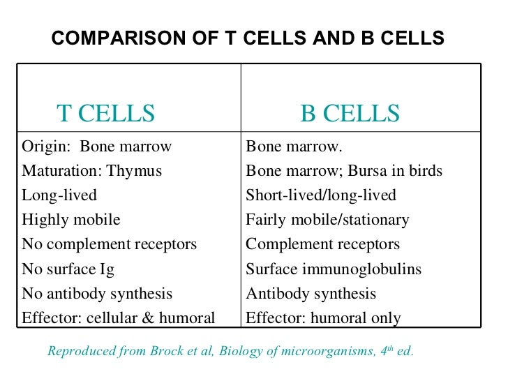 B cells and t cells are types of, Lymphocyte