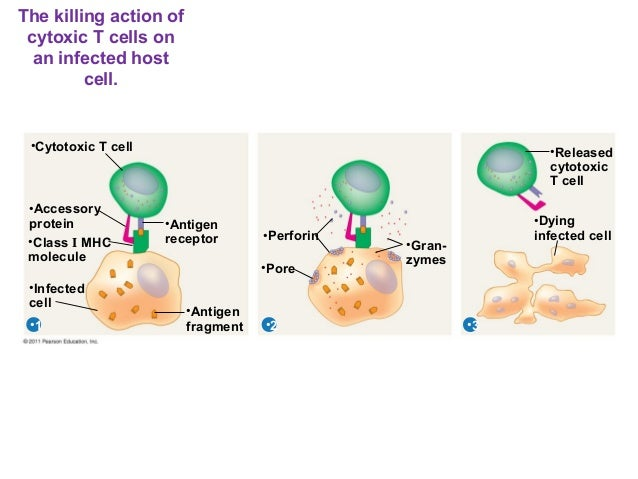 ch 17 adaptive immunity answers Chapter 17 adaptive immunity: specific defenses of the host this content is for vip students members only become a member and start studying now sign up search for: proudly powered by wordpress.