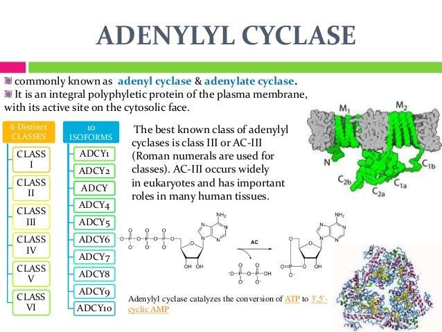 Risultati immagini per adenylate cyclase 3