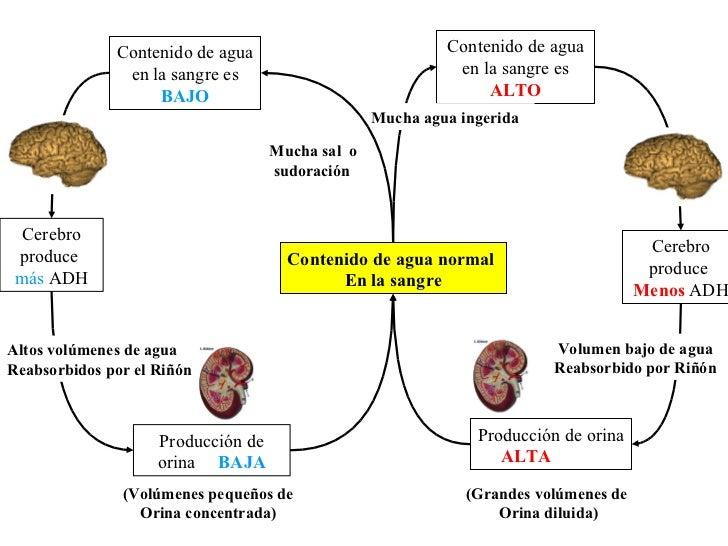 hormona mas anabolica