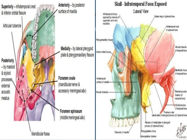 Surgical anatomy of Infratemporal fossa. by Dr. Aditya Tiwari