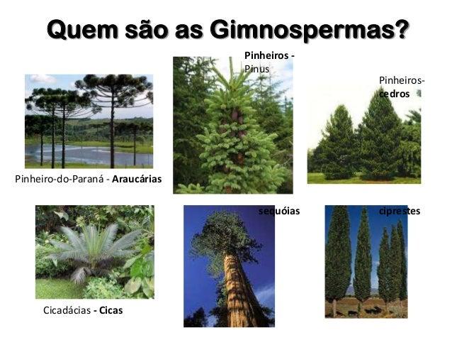 diversidade das plantas 2 gimnospermas e angiospermas