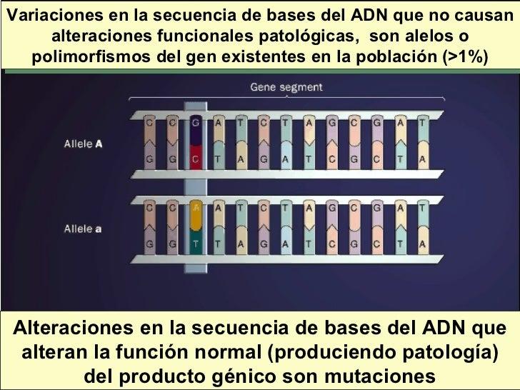 Variaciones en la secuencia de bases del ADN que no causan alteraciones funcionales patológicas,  son alelos o polimorfism...