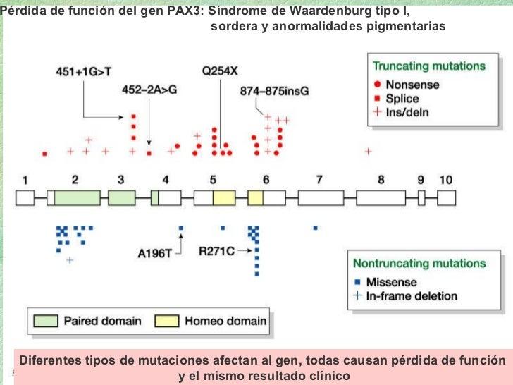 16_01.jpg Pérdida de función del gen PAX3: Síndrome de Waardenburg tipo I,  sordera y anormalidades pigmentarias Diferente...