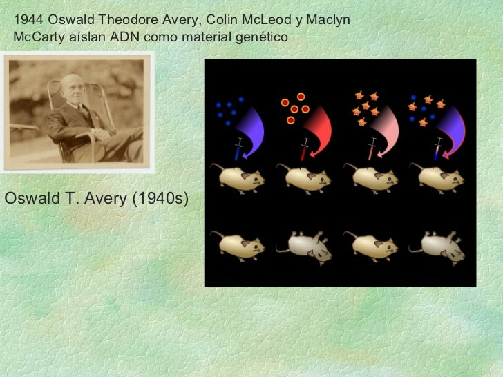 1944 Oswald Theodore Avery, Colin McLeod y Maclyn McCarty aíslan ADN como material genético Oswald T. Avery ( 1940s)