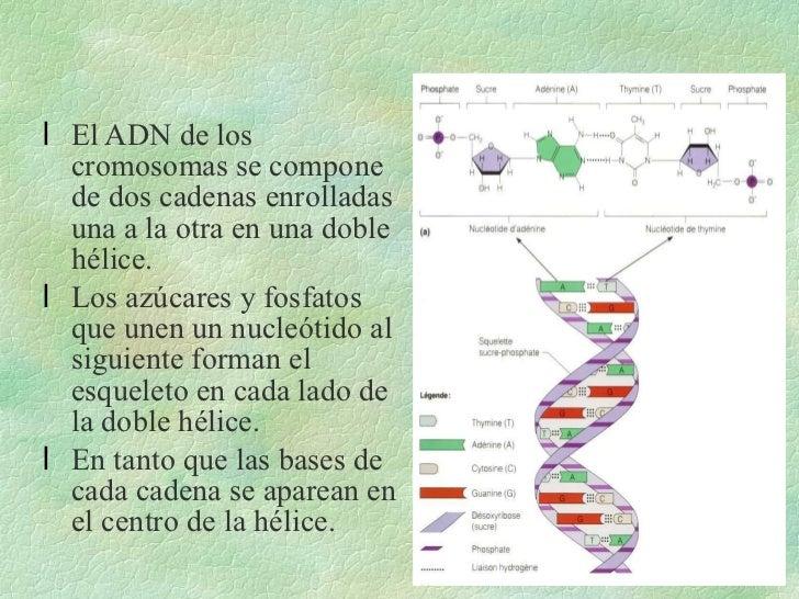 <ul><li>El ADN de los cromosomas se compone de dos cadenas enrolladas una a la otra en una doble hélice. </li></ul><ul><li...
