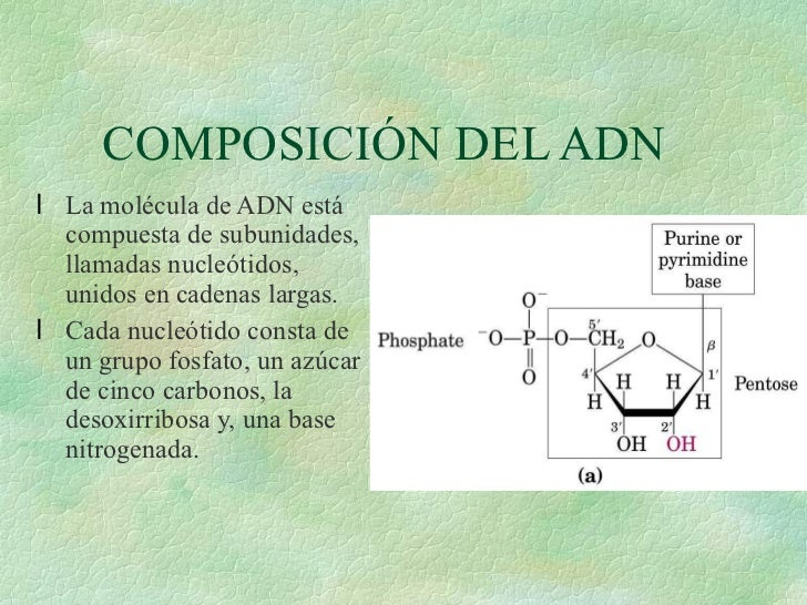 COMPOSICIÓN DEL ADN <ul><li>La molécula de ADN está compuesta de subunidades, llamadas nucleótidos, unidos en cadenas larg...